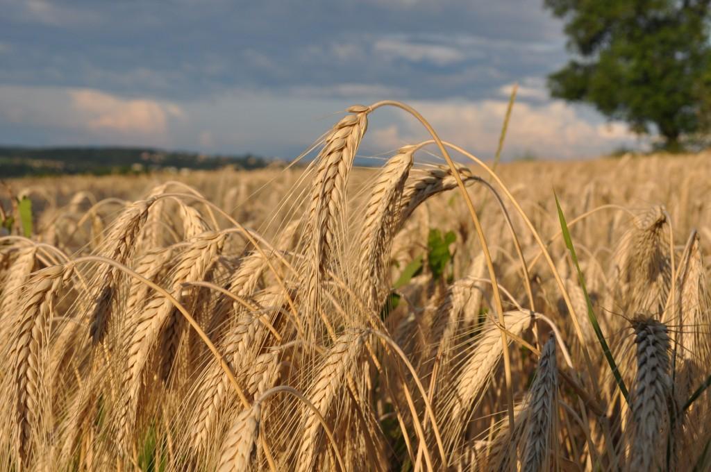 Céréales du Massif des Monts d'Or